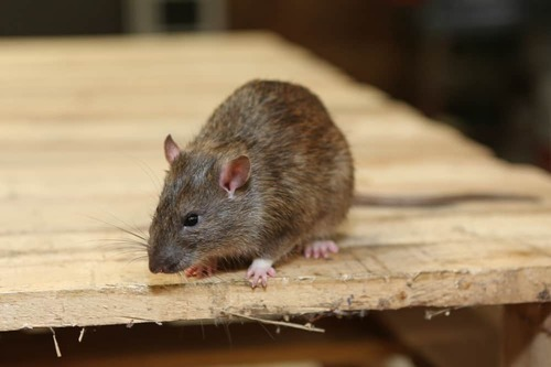 Rat Removal Melbourne