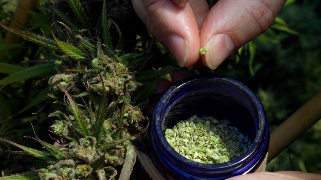 cannabis bloom as a medicine