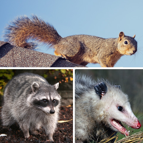 Tampa Wildlife Removal